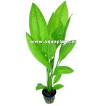 Echinodorus Bleheri plante d'aquarium en pot de diamètre 5 cm