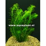 Elodea densa plante d'aquarium et bassin en bouquet