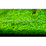 Glossostigma elatinoides-2