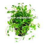 Glossostigma elatinoides plante d'aquarium en pot de diamètre 5 cm