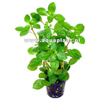 Ludwigia glandulosa Var.''perennis'' plante d'aquarium en pot de diamètre 5 cm