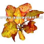 Nymphea tigerlotus plante d'aquarium livrée en bulbe avec jeunes feuilles
