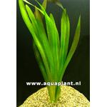Vallisneria gigantea plante d'aquarium en bouquet