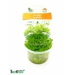 Bacopa australis plante d'aquarium qualité Prémium en gobelet In Vitro 100 ml