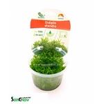Didiplis diandra plante d'aquarium qualité Prémium en gobelet In Vitro 100 ml