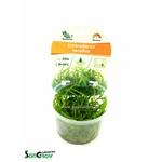 Echinodorus tenellus plante d'aquarium gazonnante qualité Prémium en gobelet In Vitro 100 ml