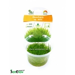 Eleocharis sp. mini plante d'aquarium gazonnante qualité Prémium en gobelet In Vitro 100 ml
