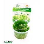Erect moss (Vesicularia reticulata) mousse qualité Prémium en gobelet In Vitro 100 ml