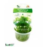 Flame moss (Taxiphyllum sp.) mousse qualité Prémium en gobelet In Vitro 100 ml
