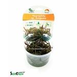 Hygrophila sp. Araguaia plante d'aquarium qualité Prémium en gobelet In Vitro 100 ml