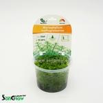 Myriophyllum mattogrossense plante d'aquarium qualité Prémium en gobelet In Vitro 100 ml