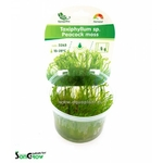 Peacock moss (Taxiphyllum sp.) mousse qualité Prémium en gobelet In Vitro 100 ml