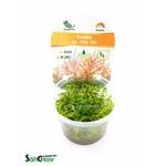 Rotala sp. Yao Yai plante d'aquarium qualité Prémium en gobelet In Vitro 100 ml