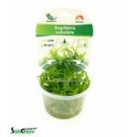 Sagittaria subulata plante d'aquarium gazonnante qualité Prémium en gobelet In Vitro 100 ml