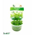 Staurogyne repens plante d'aquarium qualité Prémium en gobelet In Vitro 100 ml