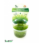 Stringy moss (Leptodictyum riparium) mousse qualité Prémium en gobelet In Vitro 100 ml