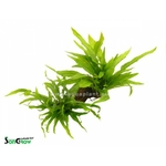 DuoWood M racine plantée avec 2 espèces de Microsorum