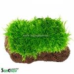 Utricularia graminifolia sur roche plante gazonnante pour aquarium