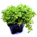 Hemianthus callitrichoides plante d'aquarium en pot de diamètre 5 cm