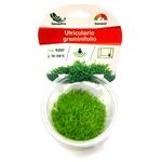 Utricularia graminifolia plante d'aquarium gazonnante qualité Prémium en gobelet In Vitro 100 ml