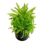 Pogostemon helferi plante d'aquarium en pot de diamètre 5 cm