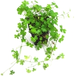 hydrocotyle-tripartita-sp-japan-plante-d-aquarium-en-pot-de-diametre-5cm-akouashop