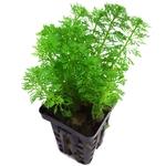 Limnophila sessiliflora - ambulia plante d'aquarium en pot de diamètre 5 cm