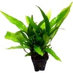 Microsorum Pteropus plante d'aquarium en pot de diamètre 5 cm
