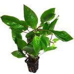 Hygrophila corymbosa verte plante d'aquarium en pot de diamètre 5 cm