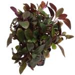 Lobelia cardinalis mini plante d'aquarium en pot de diamètre 5 cm