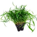 Lilaeopsis novae-zelandiae plante d'aquarium en pot de diamètre 5 cm