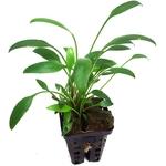 Cryptocoryne nevillii plante d'aquarium en pot de diamètre 5 cm