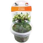 Mayaca fluviatilis (Syn: M. vandellii) plante d'aquarium qualité Prémium en gobelet In Vitro 100 ml