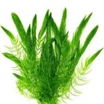 Ceratophyllum Demersum Plante d'aquarium et bassin en bouquet
