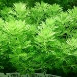 Limnophila sessiliflora (remplace la Cabomba) Plante d'aquarium en bouquet