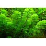 Cabomba aquatica Plante d'aquarium en bouquet