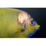 prodibio_maladie_bacteria_fungi_bacterienne_fongique_poisson_eau_mer