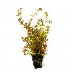 Rotala indica plante d'aquarium en pot de diamètre 5 cm