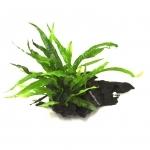 Microsorum Pteropus sur racine 15 - 20 cm