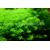 Micranthemum micranthemoides-2