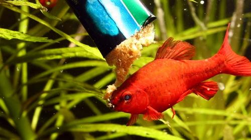 Nourrissage des poissons avec JBL Plankton pur