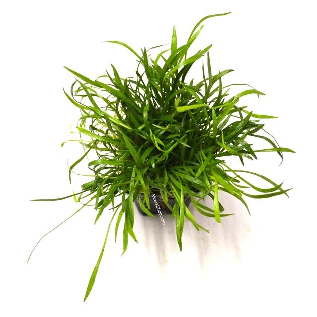 Lilaeopsis novae zelandiae plante d 39 aquarium en pot de for Aquarium en ligne