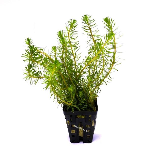 Rotala wallichii plante d 39 aquarium en pot de diam tre 5 cm for Plante pour aquarium