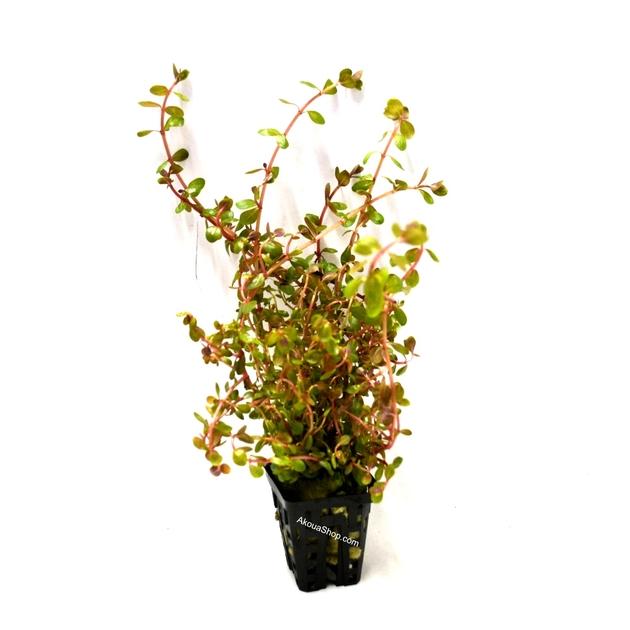 Rotala indica plante d 39 aquarium en pot de diam tre 5 cm for Aquariophilie en ligne