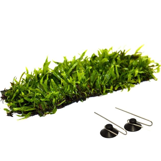 Tapis plant epaqmat microsorum minor dimension du tapis for Aquariophilie en ligne