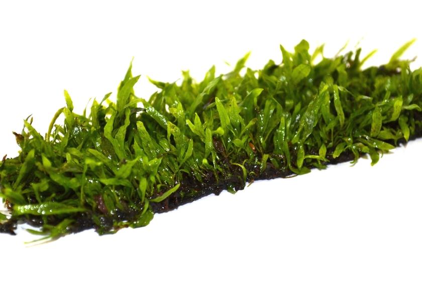 Tapis plant epaqmat microsorum minor dimension du tapis 16 5cm x 13cm plantes d 39 aquarium - Tapis chauffant pour plante ...