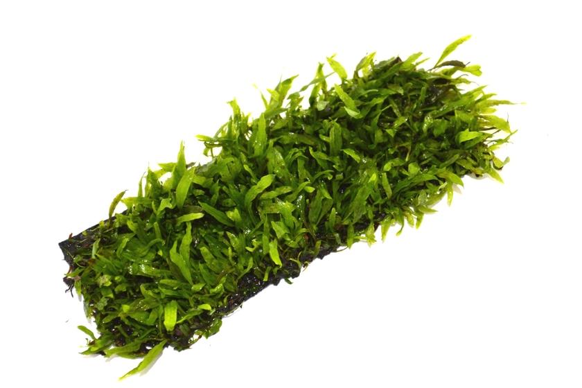 Tapis plant epaqmat microsorum minor dimension du tapis 4cm x 13cm plantes d 39 aquarium tapis - Tapis chauffant pour plante ...