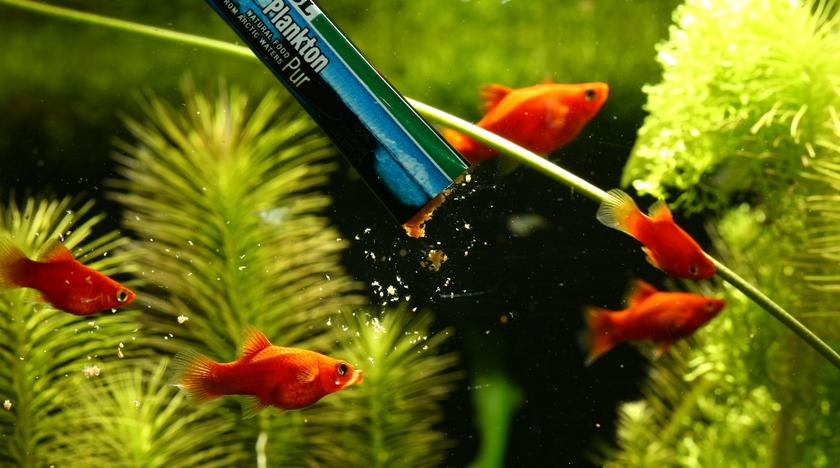 Poisson aquarium eau douce vpc for Poisson aquarium douce