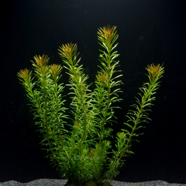 rotala wallichii plante d 39 aquarium en pot de diam tre 5 cm. Black Bedroom Furniture Sets. Home Design Ideas