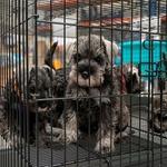 cage-d-exposition-pour-chiots (5)
